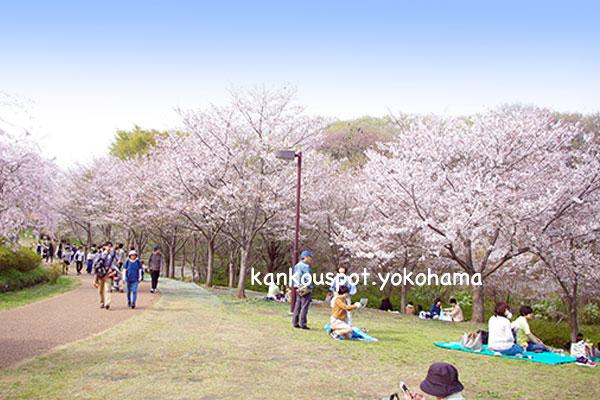 ころころ広場の桜