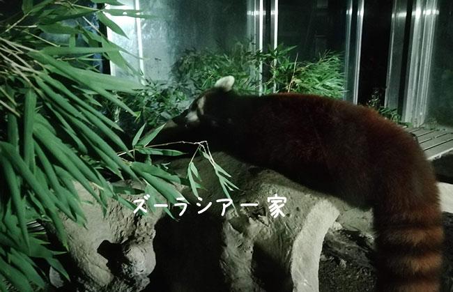 寝ているレッサーパンダ